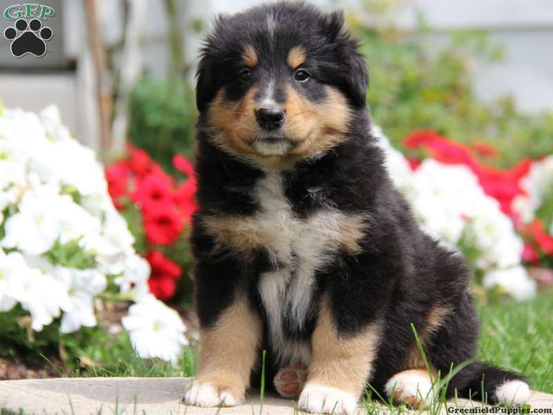 Titan Bernese Mountain Dog Mix Puppy For Sale In Pennsylvania