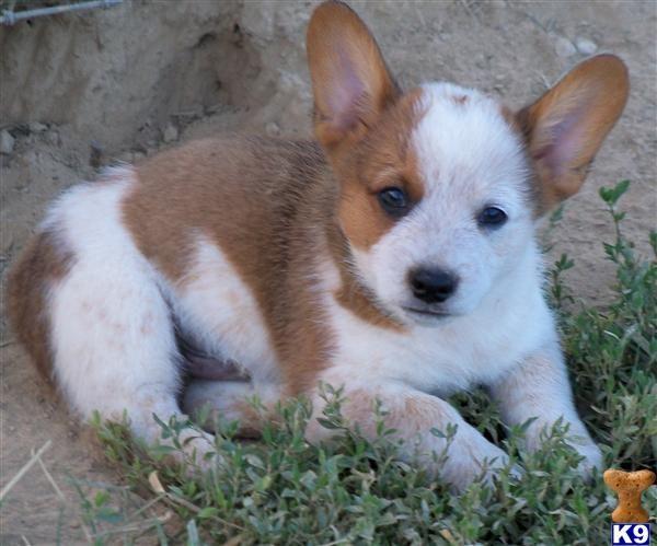 Cowboy Corgi Puppy Google Search Cowboy Corgi Corgi Corgi Puppy