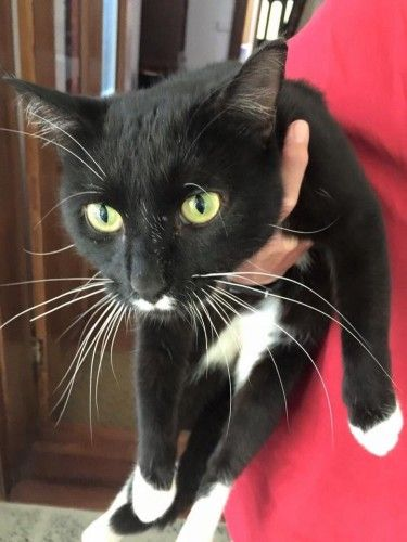 Found Tuxedo Cat Stanmore Nsw 2204 Moustachecat Very Friendly Black And White Cat Has Turned Up At Our House He Ha Cute Black Cats Found Cat Lost Cat