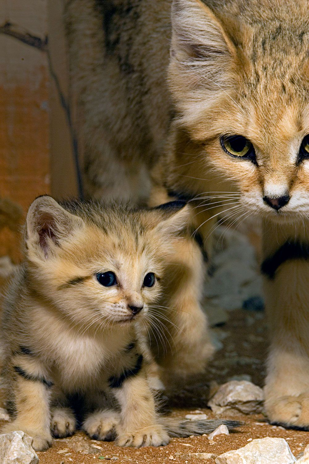 Sand Cat Vu Small Wild Cats Sand Cat Cute Animals
