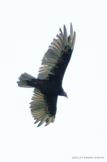 Turkey Vulture on High-Flying Carcass Hunt | Bald eagle, Birds