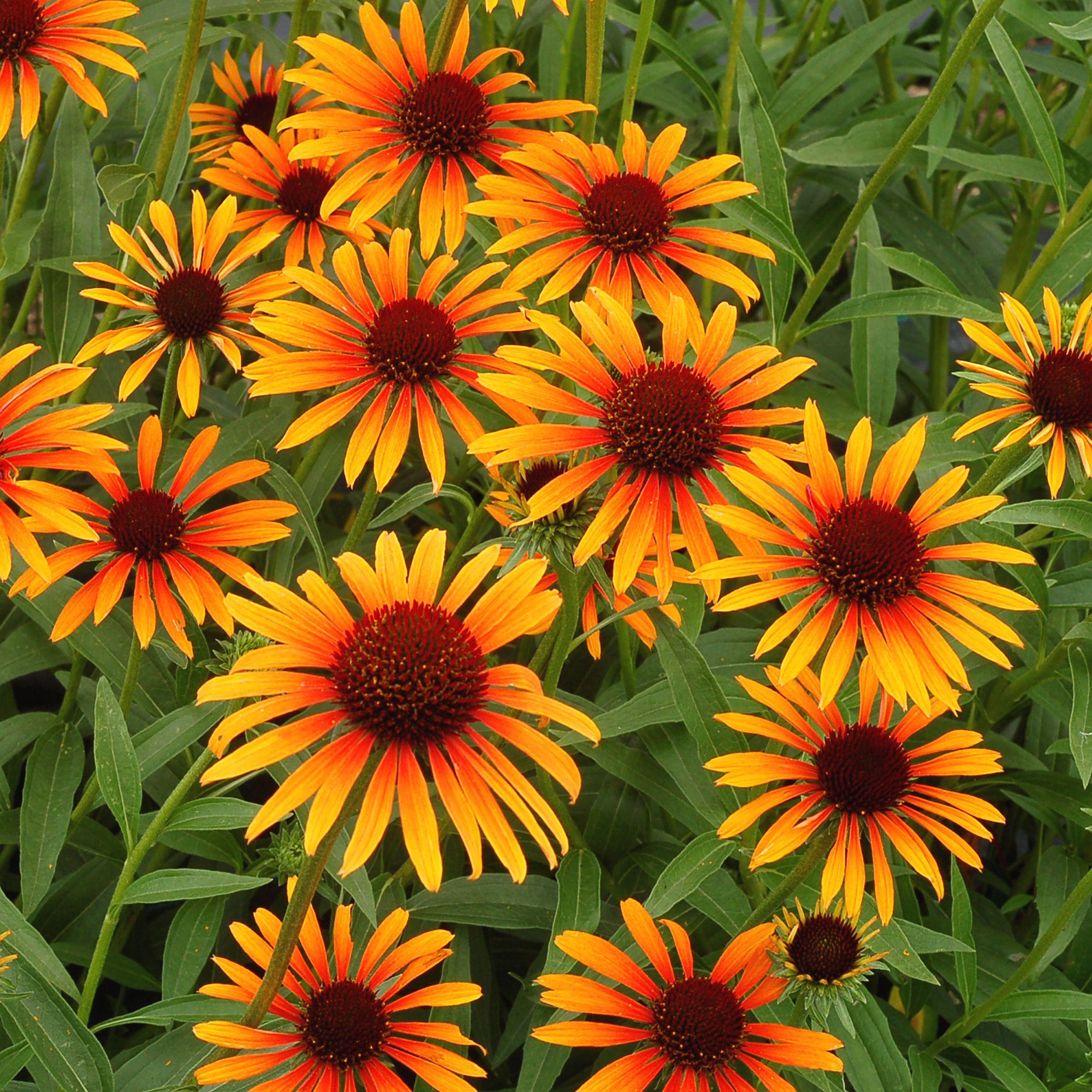 Echinacea Flame Thrower Jpg 2390 2390 Perennials Echinacea Garden Center