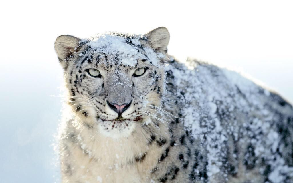 Amazing Photos On Snow Leopard Wallpaper Snow Leopard Leopard