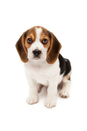 Are You Ready For A Puppy Puppies Dogs Beagle Puppy Very