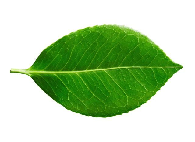 How To Identify Deciduous Trees By Their Leaves Deciduous Trees Leaves Tree Leaf Identification