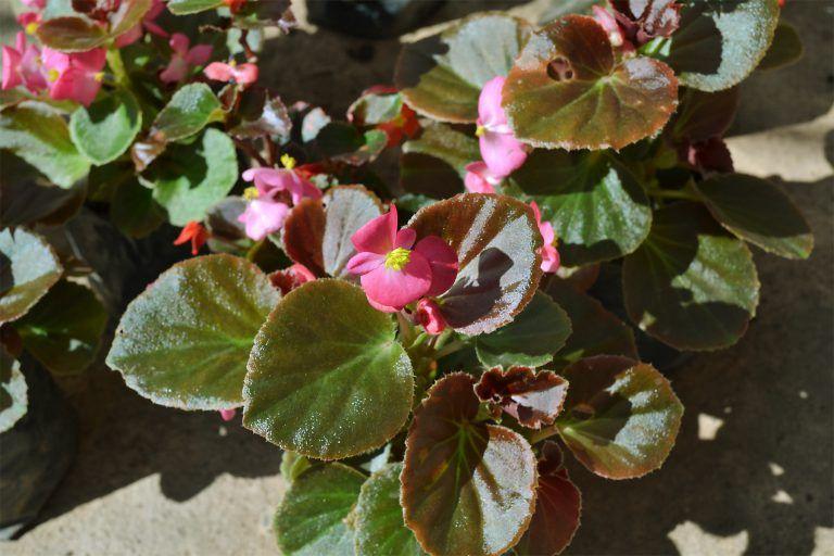 Begonia Nacar Con Imagenes Begonia Plantas Exoticas