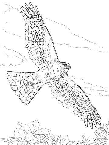 Sharp Shinned Hawk Coloring Page Printable Coloring Pages