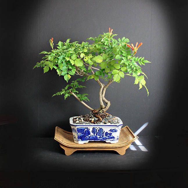 Cape Honeysuckle Bonsai Tree Blooming Bonsai Collection From Etsy Bonsai Tree Bonsai Tree Types Bonsai Nursery