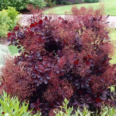 Royal purple smoke tree soil type small trees and shrub for Purple flower shrub california