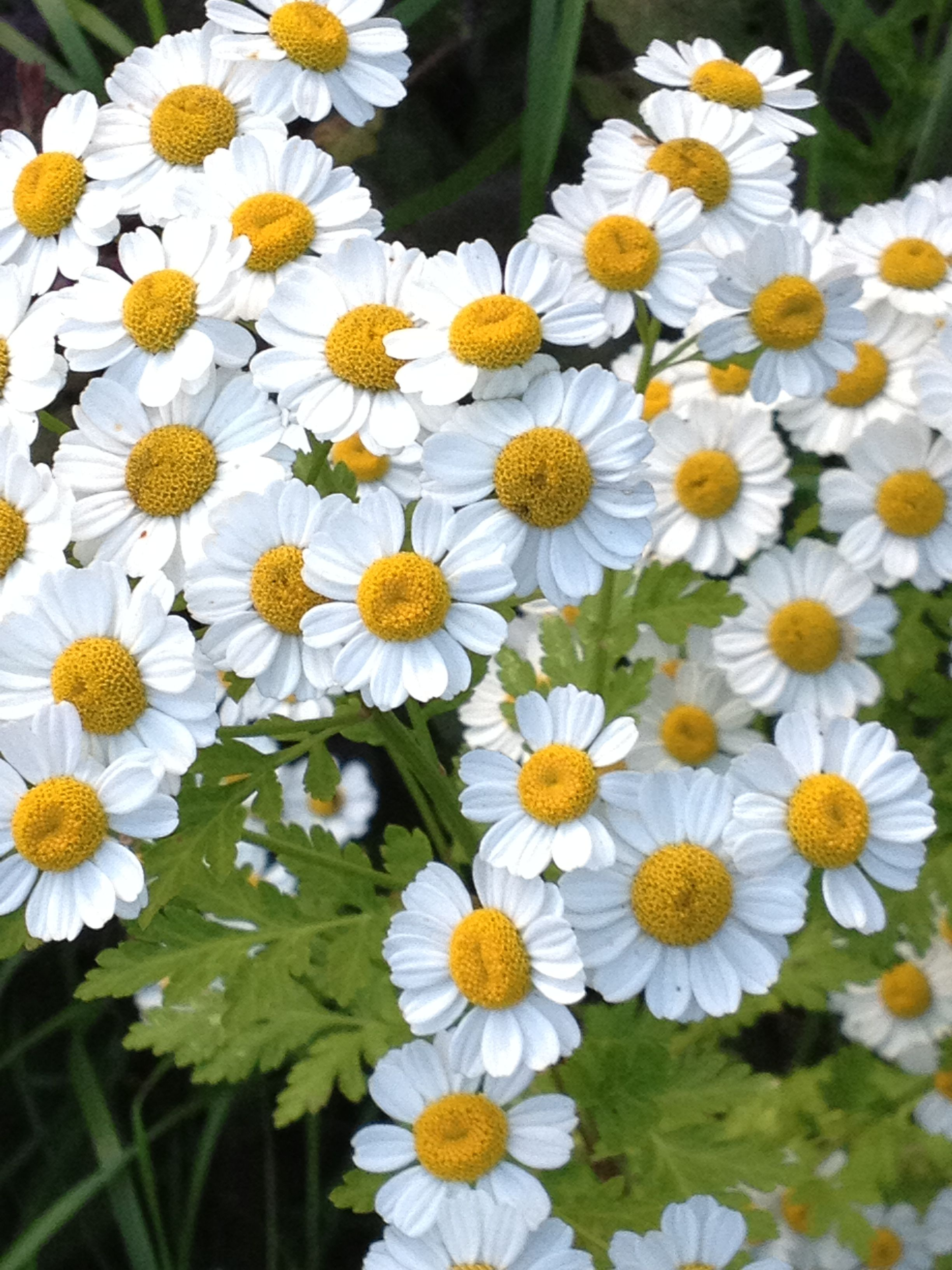 This Cheery Herb With Its Tiny Daisy Like Flowers Looks Similar To Chamomile But Is Far More Bitter Its Stems Are Also M Fairy Garden Feverfew Cottage Garden