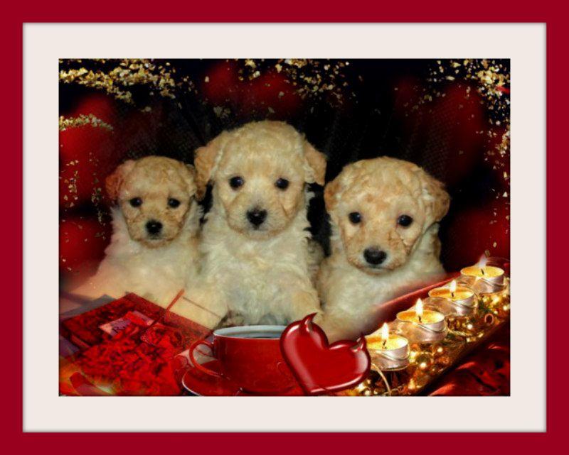 Maltese Puppy For Sale In San Jose Ca Adn 64935 On Puppyfinder