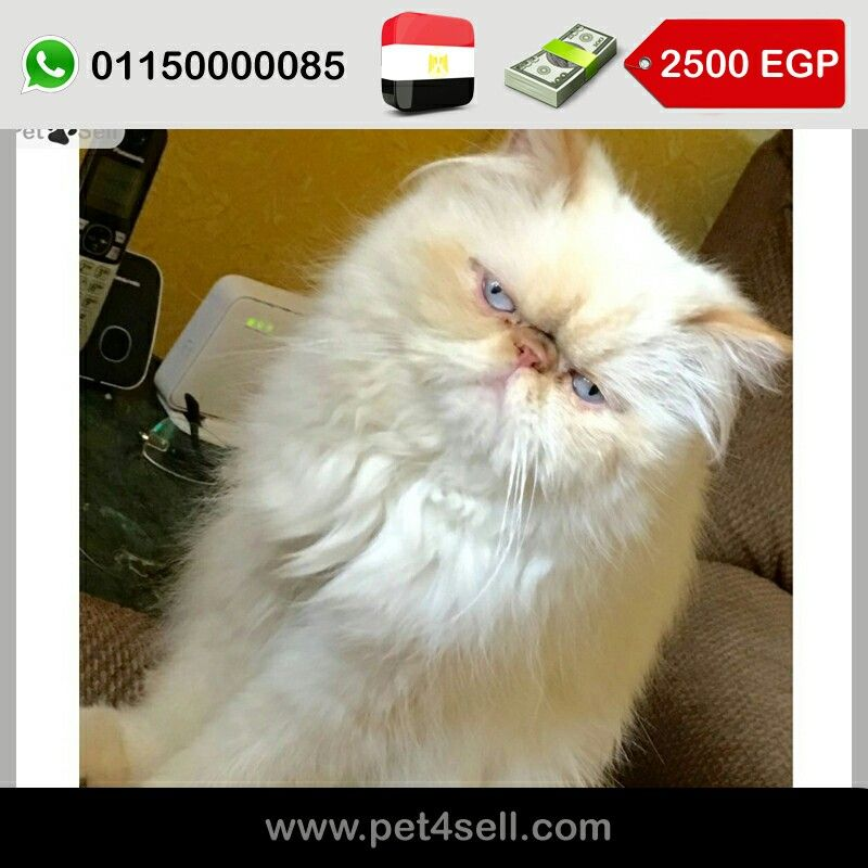 Egypt Cairo Male Himalaya Orange Age 1 And Half Year Cfa Parents Very Pure Bloodline ذكر هيمالايا اورنج العمر سنة و نصف الاب و الام Cfa انقي ا Cats Animals