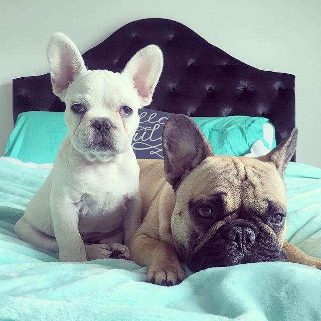 Lazy Sunday's ❤️❤️❤️ #frenchy #frenchie #frenchielove #squishyface #frenchbulldogsofinstagram #frenchbulldogpuppies #frenchbulldogsofig #frenchbulldogpuppy #frenchbulldoglove #frenchiesofig #frenchiepuppy #dogsofinstagram #frenchbulldog #puppies #love #hugs #siralfiebarker #frenchies__ #like4alike #theftenchiepost #oatie #creamfrenchie