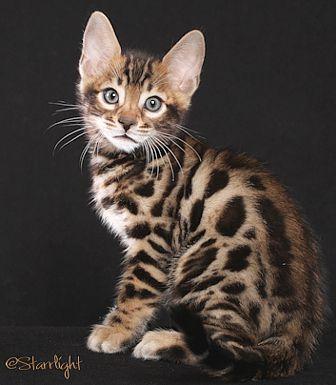 San Diego Bengal Cats Bengal Kitten Cute Cats Pretty Cats