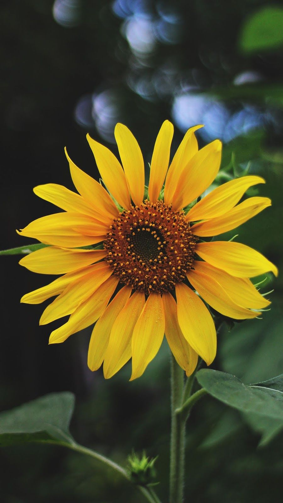 The Sunflower Wallpaper Iphone Android Background Followme Sunflower Iphone Wallpaper Sunflower Wallpaper Dandelion Wallpaper