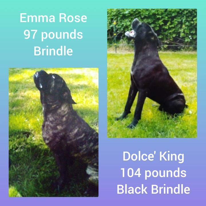 Cane Corso Puppies For Sale In Texas Craigslist Ideas