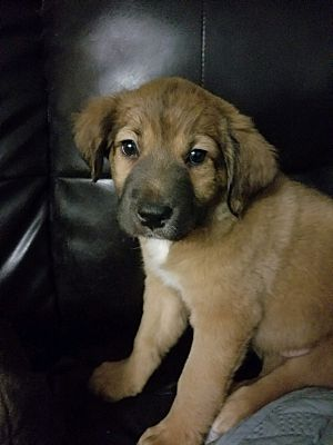 Aurora Il Shepherd Unknown Type Meet Holly A Pet For
