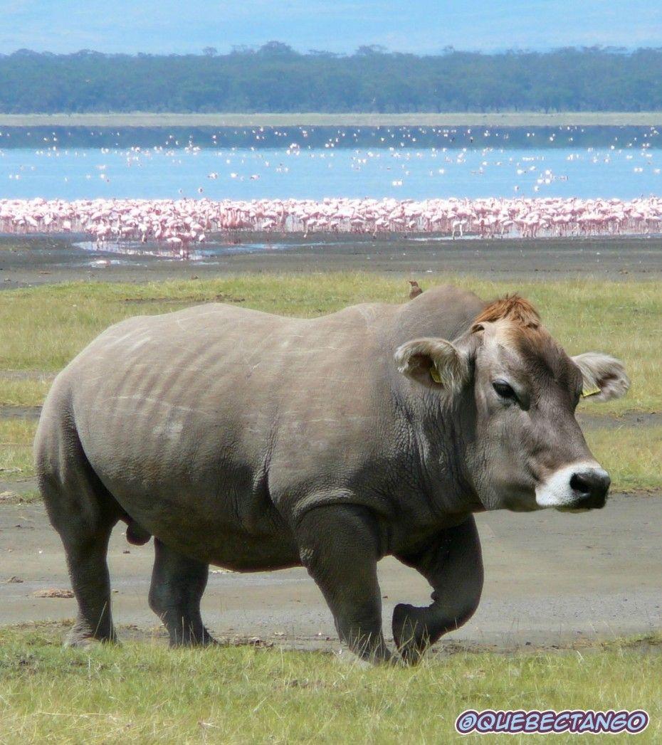 Rinoceronte vaca