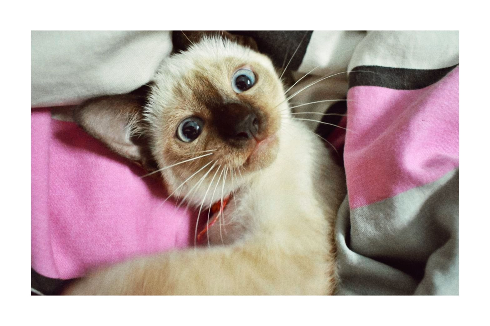 Art And Photos Of The Siamese Cat Siamese Orientals Cats Siamese Kittens Ideas Of Siamese Kittens Siamesekittens A Siamese Cats Cute Cats Cute Animals
