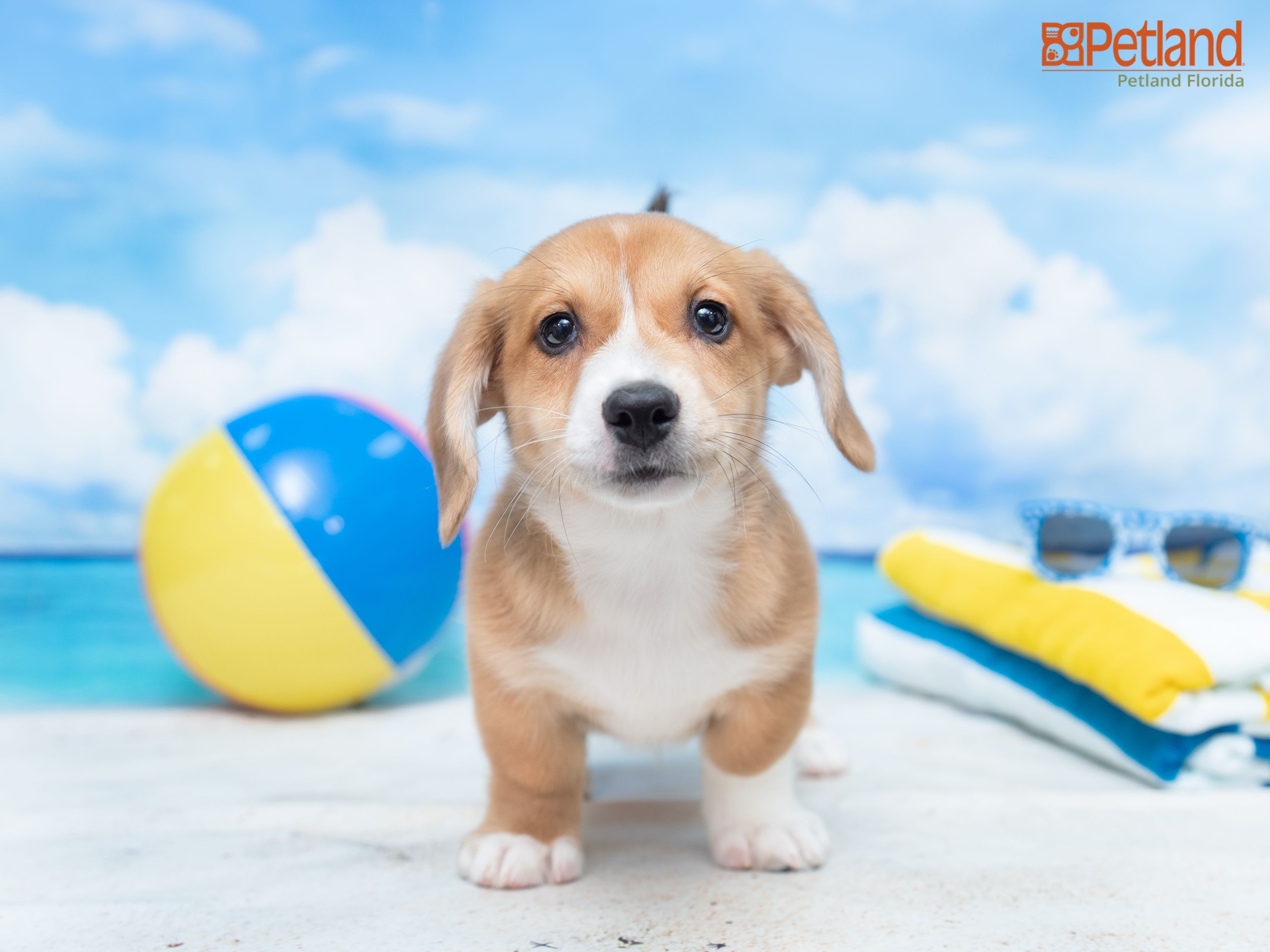 Petland Florida has puppies for sale! Check out all