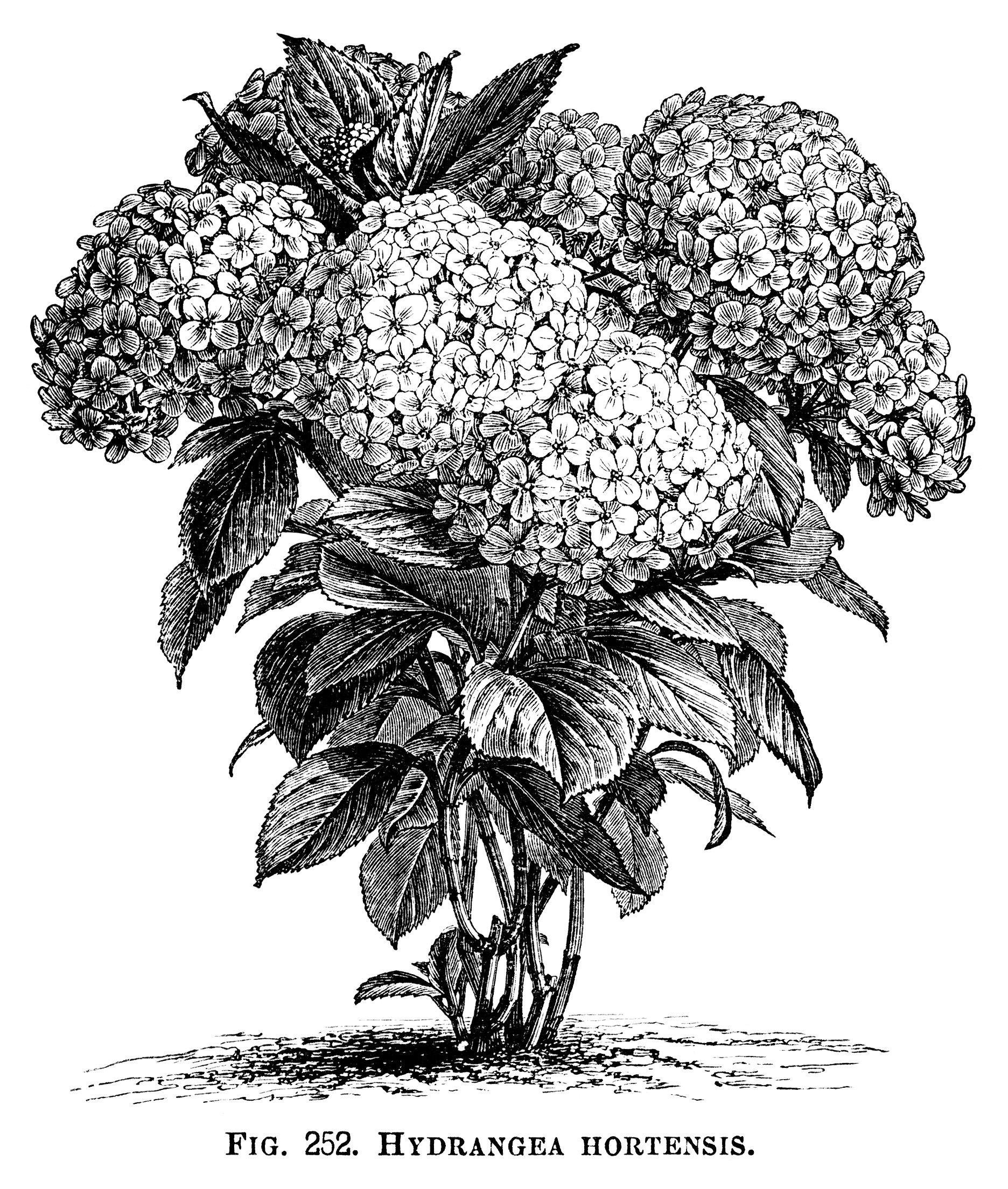Hydrangea hortensis hydrangea flower black and white graphics hydrangea hortensis hydrangea flower black and white graphics vintage flower illustration printable mightylinksfo