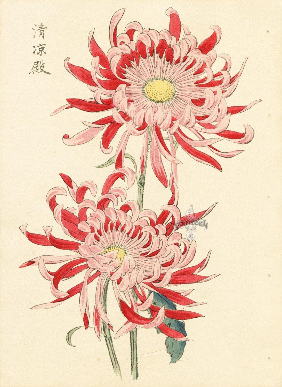 Chrysanthemum Keika Hasegawa Chrysanthemum Wood Block Prints Doubles 1893 Japanese Woodblock Printing Flower Art Botanical Prints