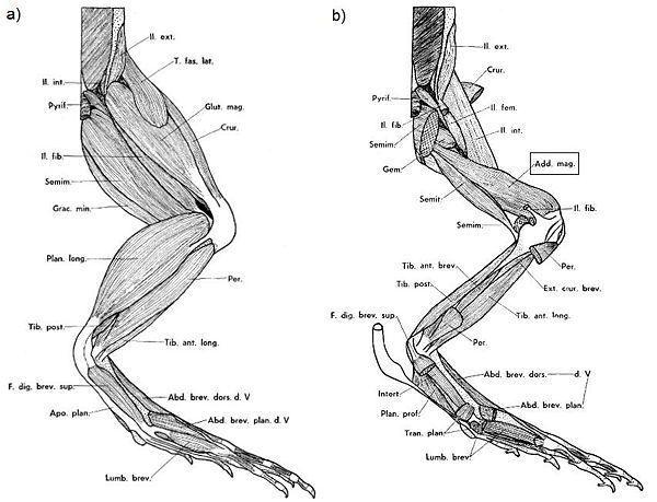Frog Leg Muscle Diagram Online Schematic Diagram