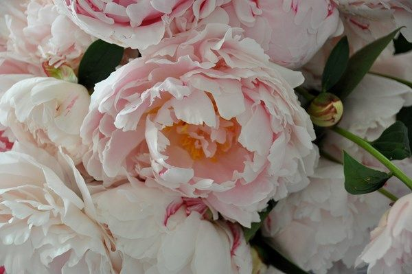 Charmant Peony · Peonies And Garden Roses ...