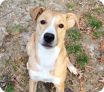 Ashland, VA - Hound (Unknown Type)/Shepherd (Unknown Type) Mix. Meet Ursula, a dog for adoption. http://www.adoptapet.com/pet/11946794-ashland-virginia-hound-unknown-type-mix