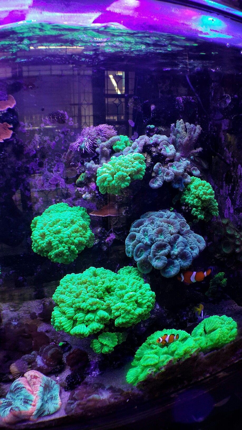 Candy Cane Coral Reef Aquarium Saltwater Tank Saltwater Aquarium