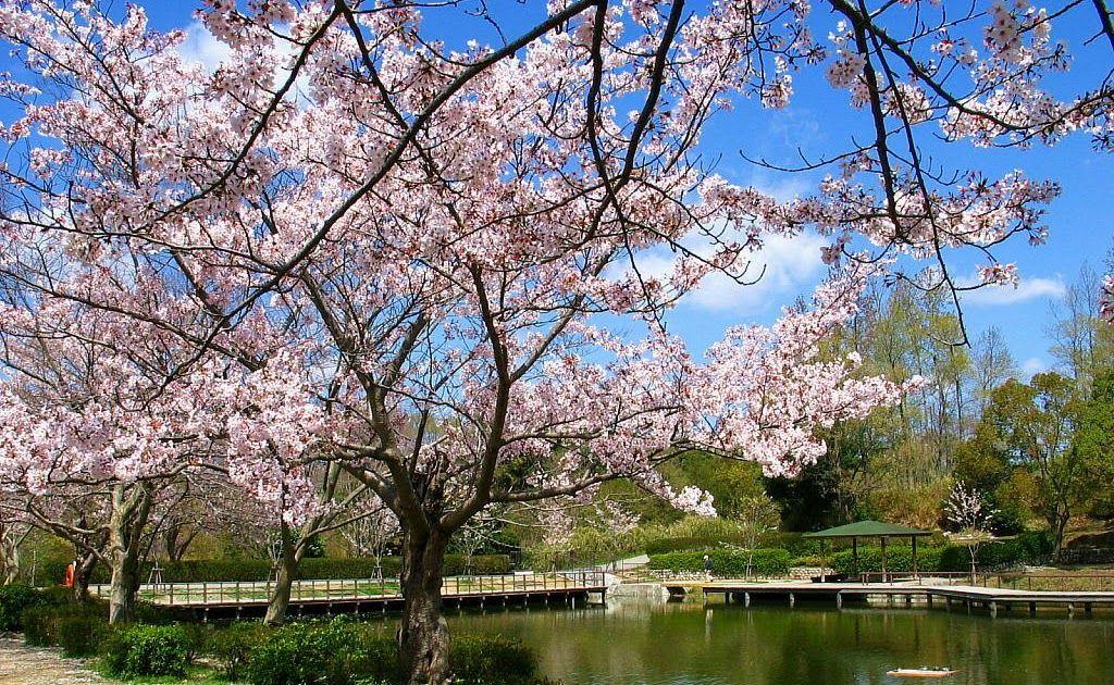 31 Gambar Bunga Sakura Tercantik Di Dunia Wallpaper Bunga Sakura Terindah 59 Pictures Bunga Sakura Download 10 Taman Terind Di 2020 Taman Indah Bunga Bunga Sakura