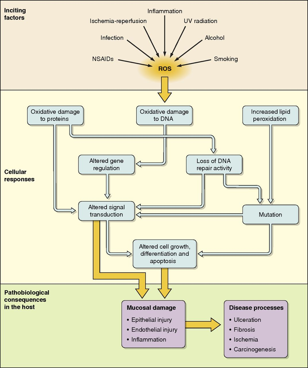 Pathophysiology Of Colon Cancer Diagram 2001 Bmw X5 Wiring Schematic Showing The Induction Oxidative