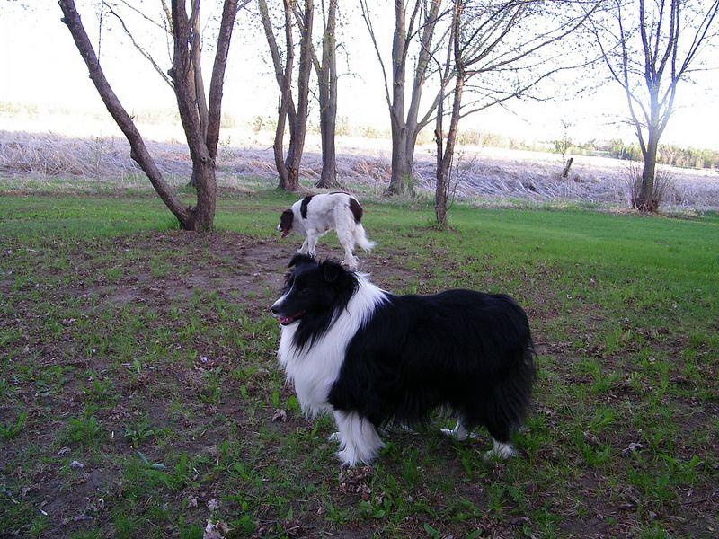 100_1160 Sheltie, Shetland sheepdog, Spaniel