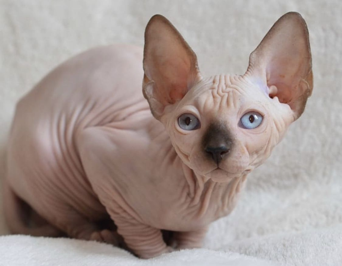 14 Facts About Sphynx Cats That You Should Know Koshki