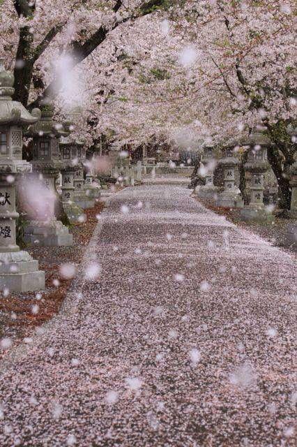 Sakura Scenery Cherry Blossom Japan Nature