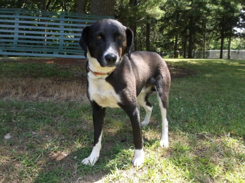 XYLOBorder Collie Mix • Adult • Male • Large Pickaway