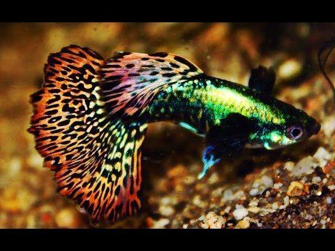 Platinum Red Mosaic Hm Htd Dumbo Big Ear Guppy Thai Beauty Hd Youtube Freshwater Aquarium Fish Aquarium Fish Guppy Fish