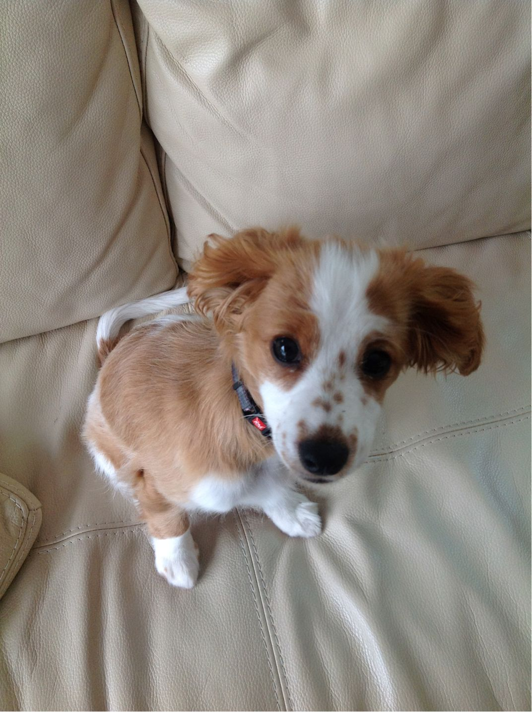 Short Haired Cavoodle Cute Creatures Funny Dogs Dogs