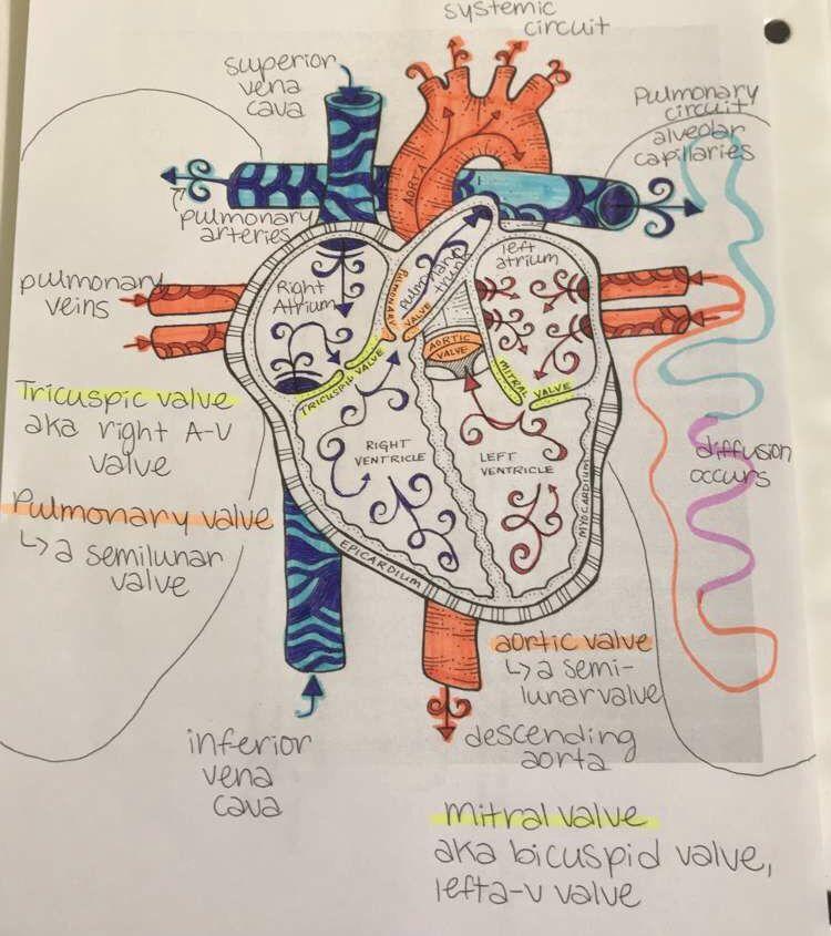 Heart Diagram | Heart diagram, Mitral valve, Vena cava