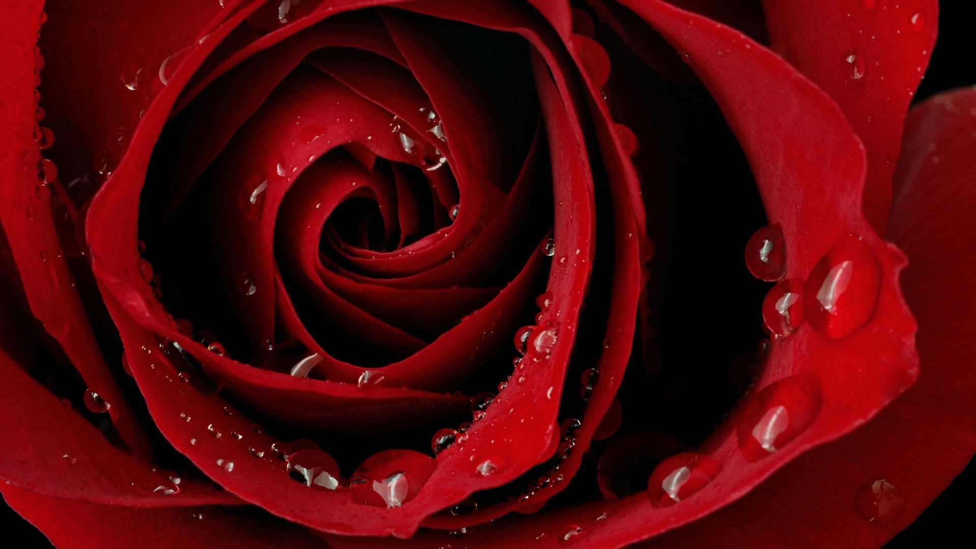 Rose Hd Full Screen 2 Wallpaper Rose Wallpaper Red Roses