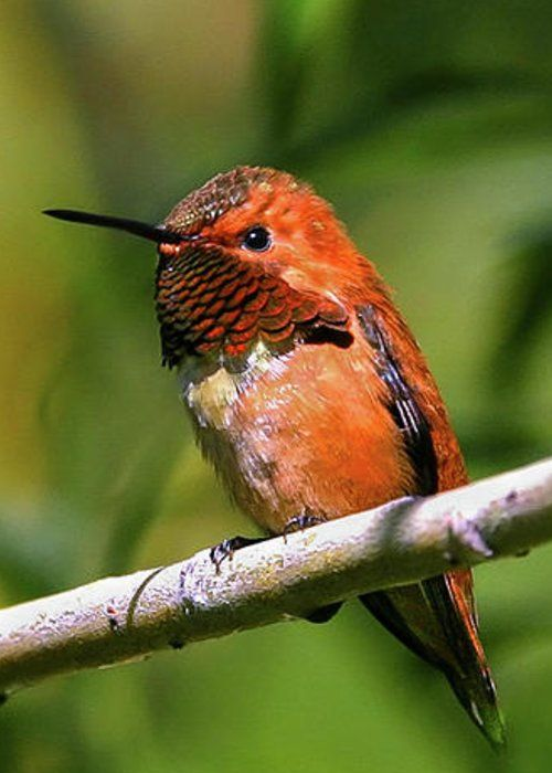 Rufous Hummingbird by Ronnie and Frances Howard