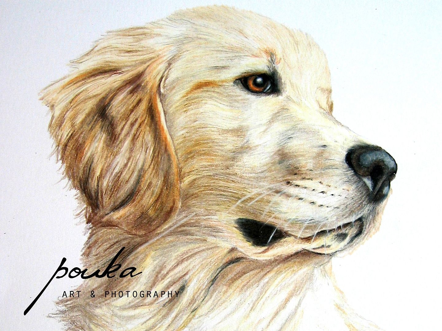 Art Photography Pencil Drawings Golden Retriever Golden Retriever Art