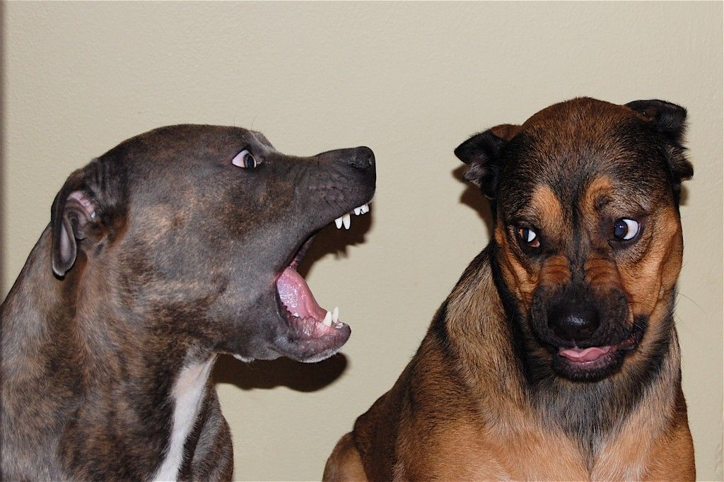 Dog Shouting Animal Funny Animal Memes Dog Sounds Funny Animals