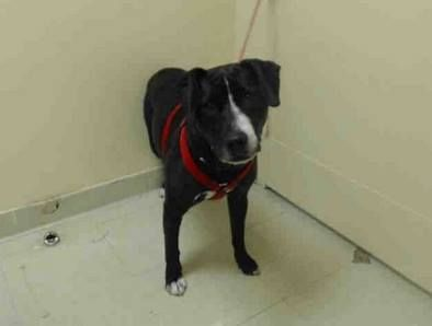 SUPER URGENT 1/12/14 Staten Island   BELLA - A0989408 *** MUST leave ASAP! Heartworm positive ***  SPAYED FEMALE, BLACK / WHITE, LABRADOR RETR MIX, 4 yrs OWNER SUR - EVALUATE, NO HOLD Reason STRAY  Intake condition DISEASE Intake Date 01/12/2014, From NY 10309, DueOut Date 01/15/2014 https://www.facebook.com/photo.php?fbid=740433472636201&set=a.617942388218644.1073741870.152876678058553&type=3&theater