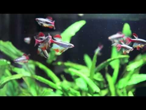 Long Fin White Cloud Mountain Minnow Youtube White Cloud Minnow Clouds Aquarium Fish
