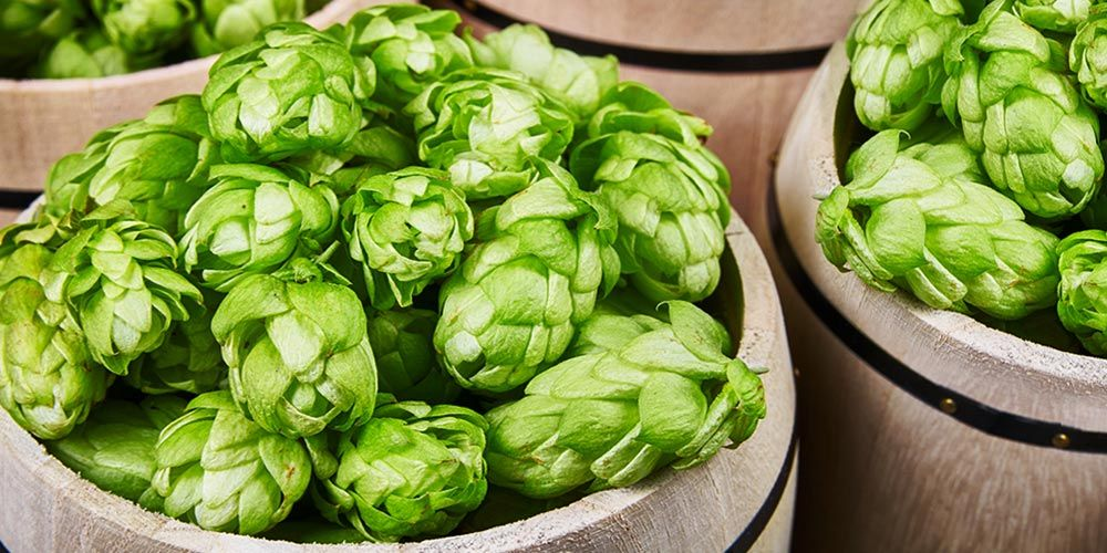 East kent goldings how to grow brew this hop variety