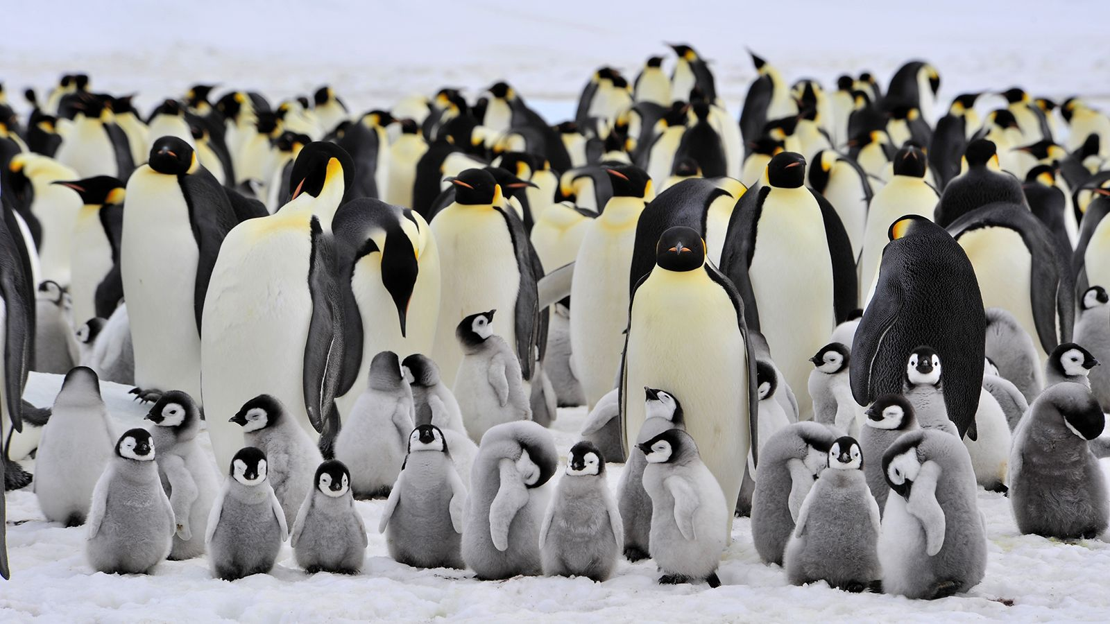Baby emperor penguin stays with its parents at the polar house of - Emperor Penguin