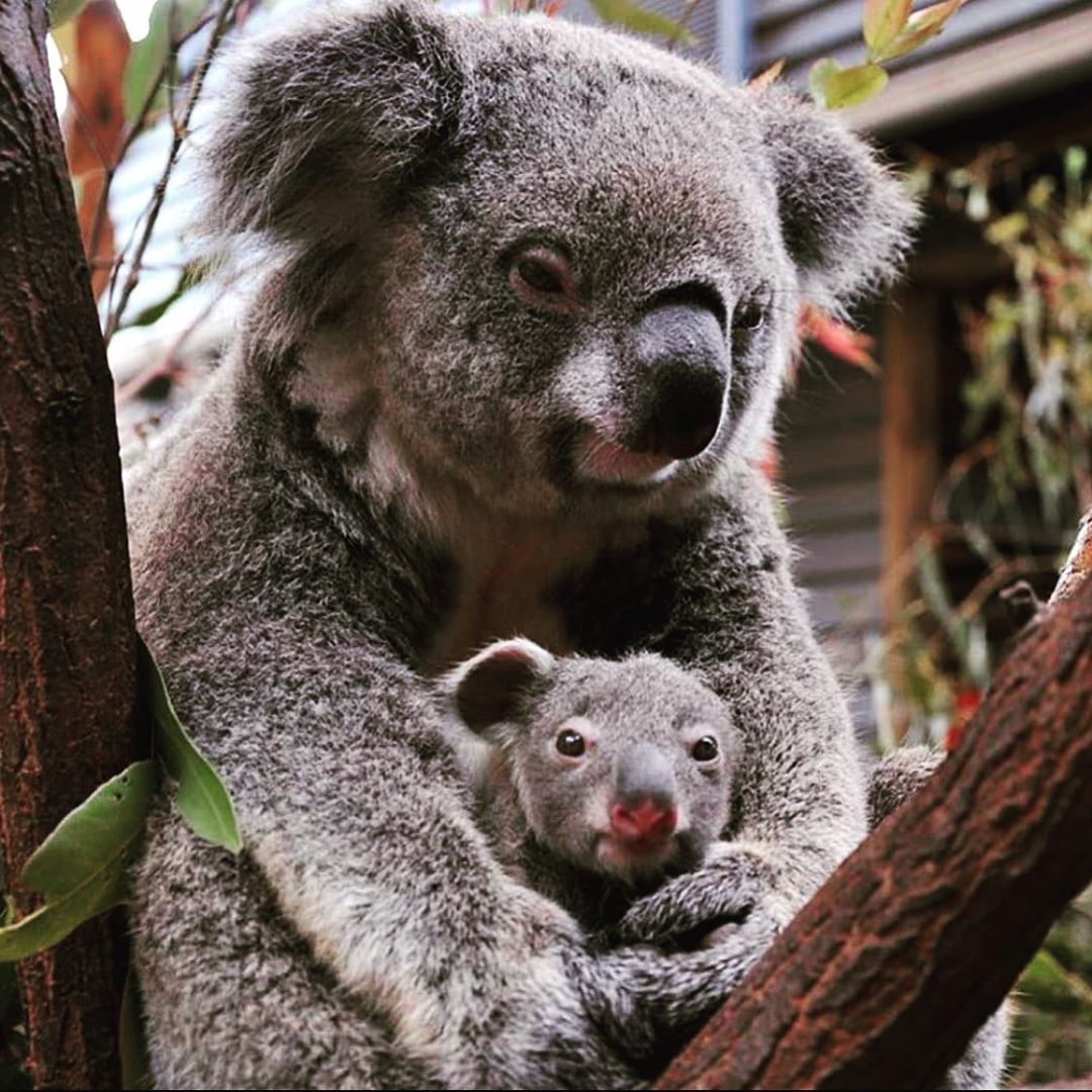 Koalaty Content On Instagram This Baby Koala Might Just Have The Cutest Nose Out There What Do You Think Every Donat In 2020 Baby Koala Koala Cute Animals