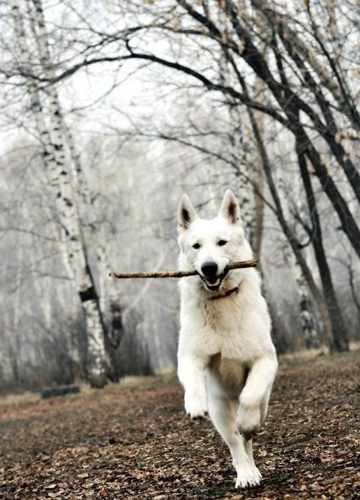 14 Curious Facts About White German Shepherds | Page 2 of ...
