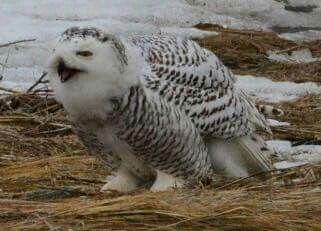 Snowy owl. Facebook owlpage